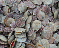 Scallop for sale at a seafood market Stock Photos