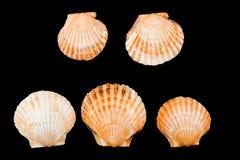 Scallop. Sea shell on black Stock Photos