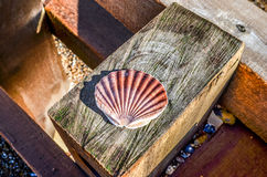 Scallop sea shell on wood Stock Photo