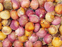 Scallop sea shells Stock Images