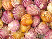Scallop sea shells Stock Photography
