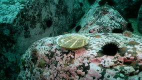 Scallop and sea urchins among the rocks on seabed. stock video footage