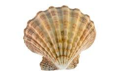 Scallop Seashell Royalty Free Stock Image