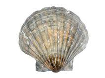 Scallop seashell Stock Photo