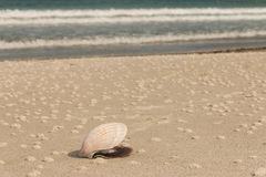 Scallop seashell on beach Royalty Free Stock Images