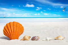 Scallop Seashell on the Beach Royalty Free Stock Photos