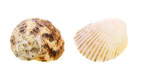 Scallop seashell from ocean isolated on white Stock Image