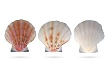 Scallop seashells Stock Photography
