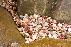 Scallop seashells between rocks Royalty Free Stock Photography