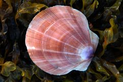 Scallop Shell. A single scallop shell on a bed of seaweed stock photography