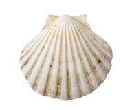 Scallop shell Stock Photos