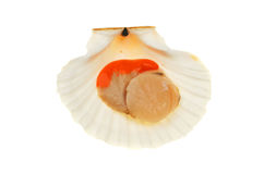 Scallop in shell Stock Photography