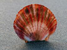 Scallop shell. Royalty Free Stock Photography