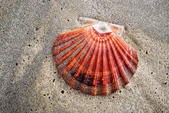 Scallop Shell On The Beach Stock Photos