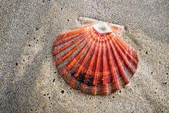 Scallop Shell On The Beach Stock Photos
