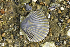 Scallop shell on beach Royalty Free Stock Photo