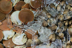 Scallop shell on ice Royalty Free Stock Photography