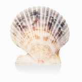 Scallop shell isolated Royalty Free Stock Photo