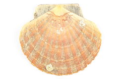 Scallop shell isolated on a white background Royalty Free Stock Photo