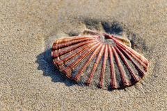 Scallop Shell ~ Lyme Regis Royalty Free Stock Images
