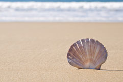 Scallop shell in sand. Stock Photography