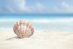 Scallop Shell in the Sand Beach of the Caribbean Sea. Low angle view of a scallop shell in the sand beach of the Caribbean sea royalty free stock photo