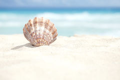 Scallop Shell in the Sand Beach of the Caribbean Sea Stock Images