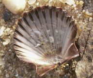 Scallop shell and sand in water Royalty Free Stock Images