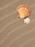 Scallop Shell on a Sandy Beach Royalty Free Stock Photo