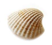 Scallop shell Stock Image