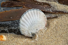 Scallop Shell And Seaweed Royalty Free Stock Images