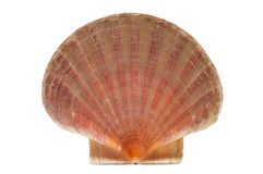 Scallop shell or shell of Saint James Royalty Free Stock Image