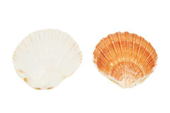 Scallop shells Royalty Free Stock Photos