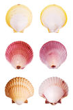Scallop Shells Stock Photo