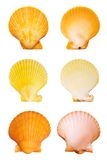 Scallop shells Stock Images