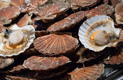 Scallop shells Royalty Free Stock Image