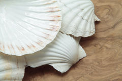 Scallop shells Royalty Free Stock Photo