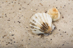 Scallop shells lying in the sand Royalty Free Stock Photo