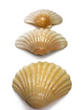 Scallop trio sea shells. Trio of half scallop sea shells isolated on a white background Royalty Free Stock Photos
