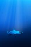 Scalloped hammerhead shark Royalty Free Stock Image