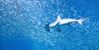 Scalloped hammerhead shark (Sphyrna lewini) in a school of fish. A single large scalloped hammerhead shark (Sphyrna lewini) swims through a school of much Stock Photos