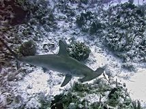 A Scalloped Hammerhead Shark Swims the Reef Stock Photo