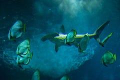 Scalloped hammerhead (Sphyrna lewini). Scalloped hammerhead (Sphyrna lewini) and orbicular batfishes (Platax orbicularis Stock Photo
