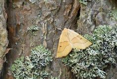 Scalloped oak, Crocallis elinguaria resting on pine bark. This moth belongs to the Geometridae family Stock Image