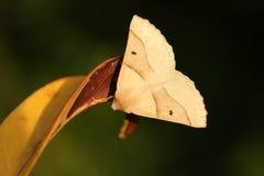 A Scalloped Oak Moth Crocallis elinguaria perched on a leaf. A pretty Scalloped Oak Moth Crocallis elinguaria perched on a leaf Stock Photos