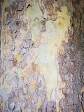 The scalloped tree bark - rough tree bark. The scalloped tree bark details - rough tree bark exfoliated in the middle royalty free stock photos