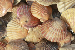 Scallops Stock Image