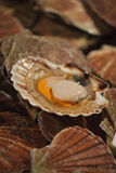 Scallops. Photo of a fresh raw scallops at the market Stock Photography