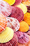 Scallops. Royalty Free Stock Photo