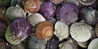 Scallops. For sale at a market stock photos